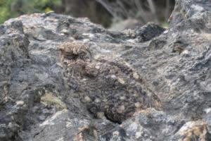 Camouflaged Freckled Nightjar