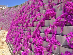 Planted wall, Convolvulus mauretanius