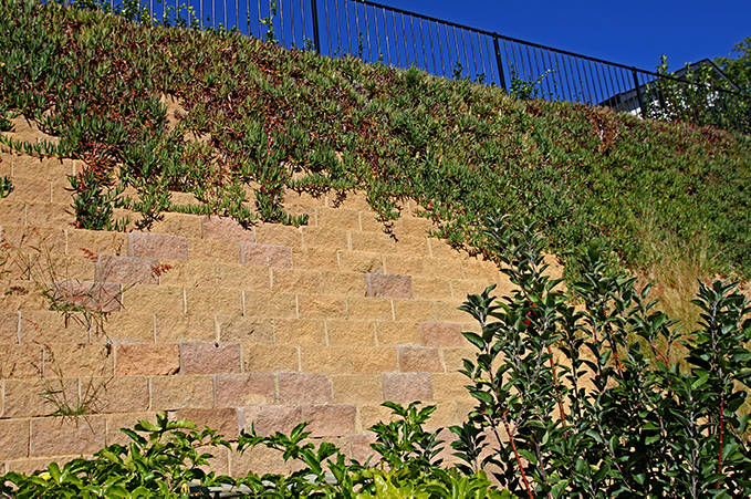 Fast growing creepers cover the wall more and more